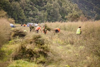 Harvesting manuka trees at Maungaroa Station, Te Kaha, Bay of Plenty.